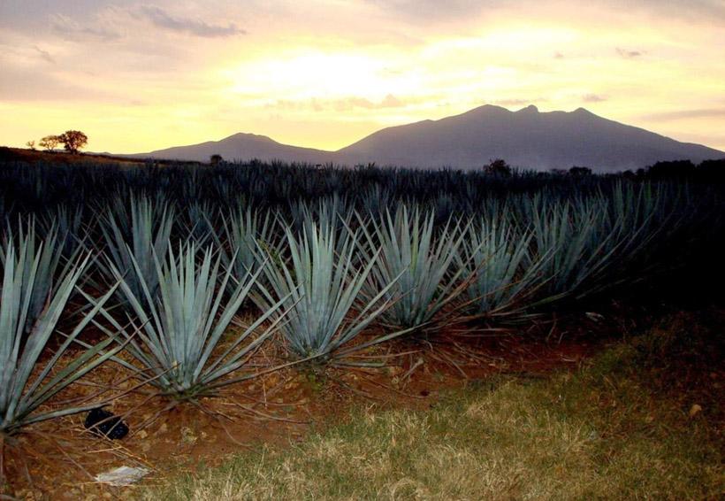 Mexicanos crean nuevo suplemento alimenticio con aguacate y agave | El Imparcial de Oaxaca