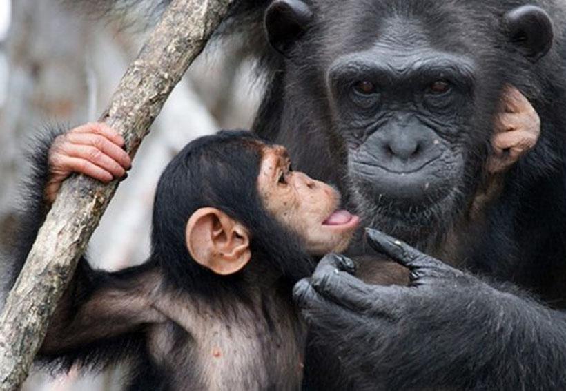 Documentan caso de canibalismo a chimpancé recién nacido | El Imparcial de Oaxaca