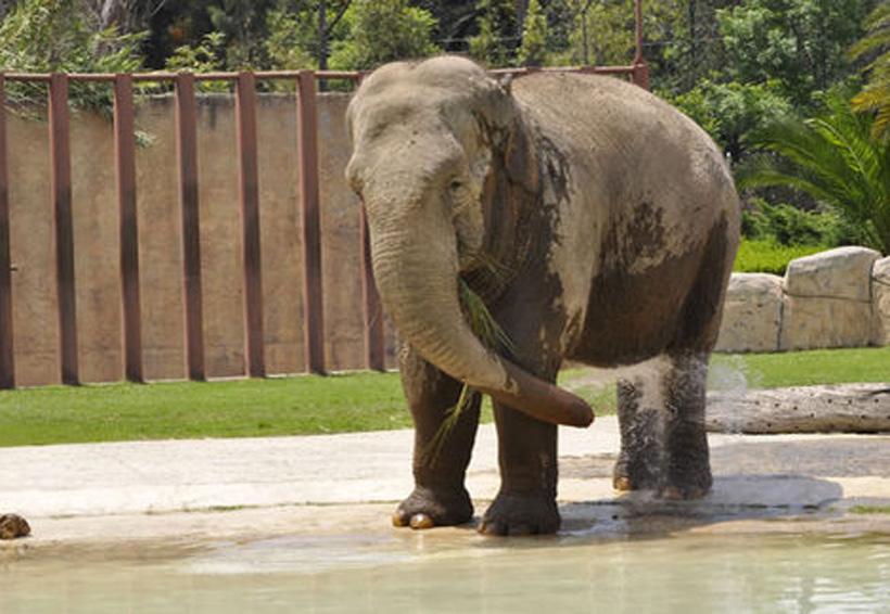 'Ely' la elefanta se altera durante terremoto del 19-S   El Imparcial de Oaxaca
