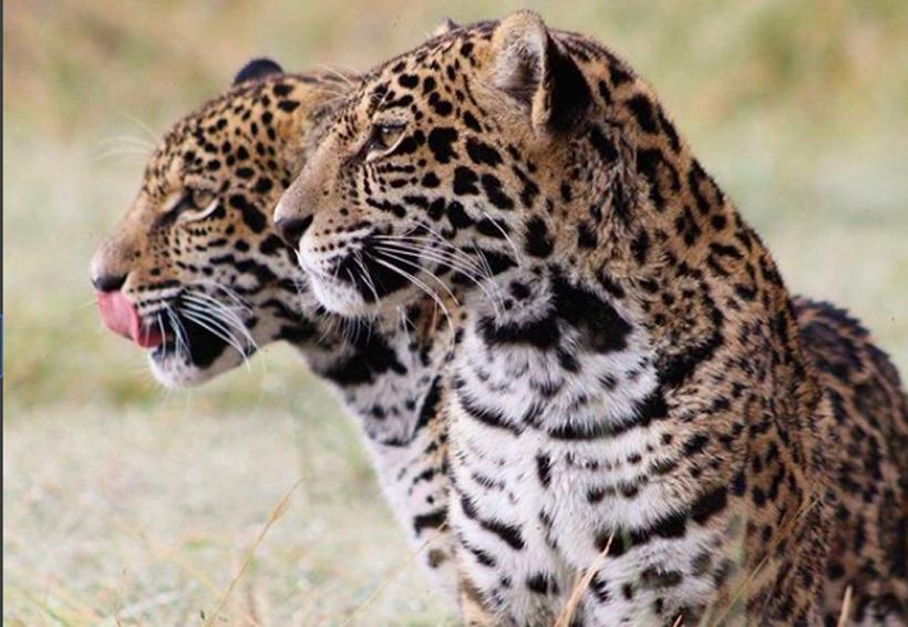 Yaguar Xoo: el santuario del jaguar en Oaxaca | El Imparcial de Oaxaca