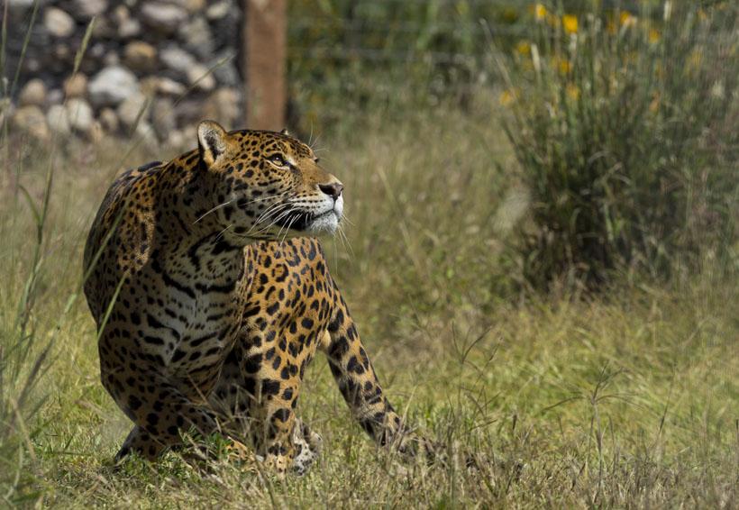 En México es legal tener un jaguar como mascota, pero no pasearlo | El Imparcial de Oaxaca