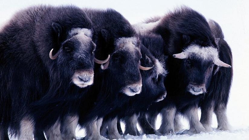 """Un aterrador """"tsunami de hielo"""" sepulta con vida a una manada de misteriosos animales en Alaska   El Imparcial de Oaxaca"""