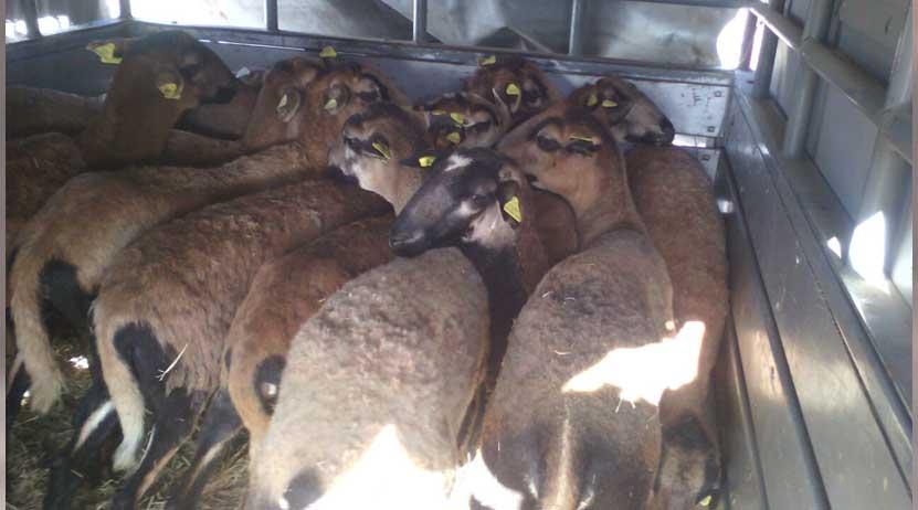 Los detienen con camioneta robada y ganado bovino en la federal 190, Oaxaca   El Imparcial de Oaxaca
