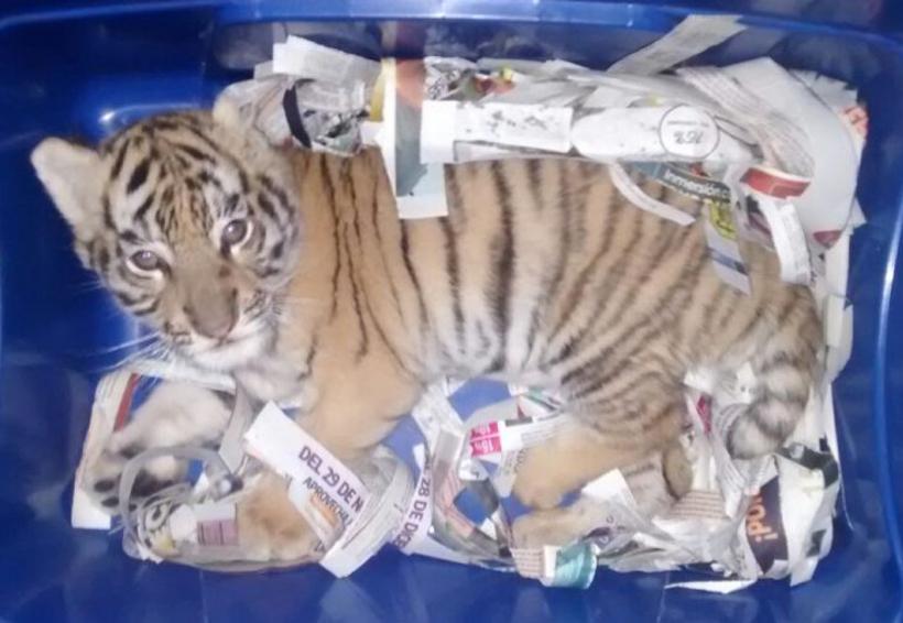 Encuentran a cachorro de tigre en una caja de plástico; iba a ser enviado por paquetería | El Imparcial de Oaxaca