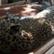 Matan a balazos a un jaguar en Tulum; la PGR investigará