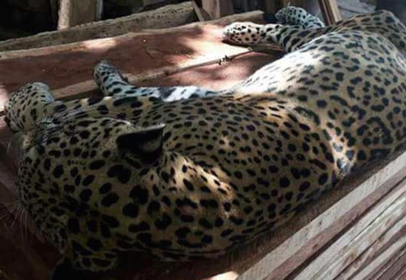 Matan a balazos a un jaguar en Tulum; la PGR investigará   El Imparcial de Oaxaca