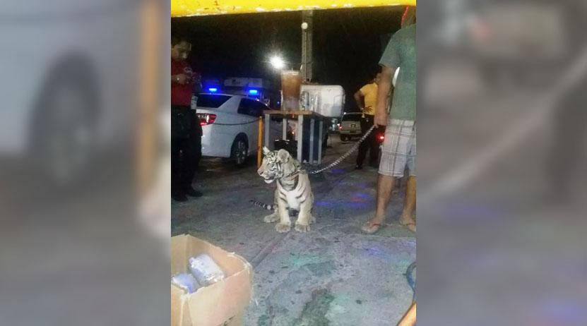 Exhiben en redes foto con tigre en Oaxaca   El Imparcial de Oaxaca