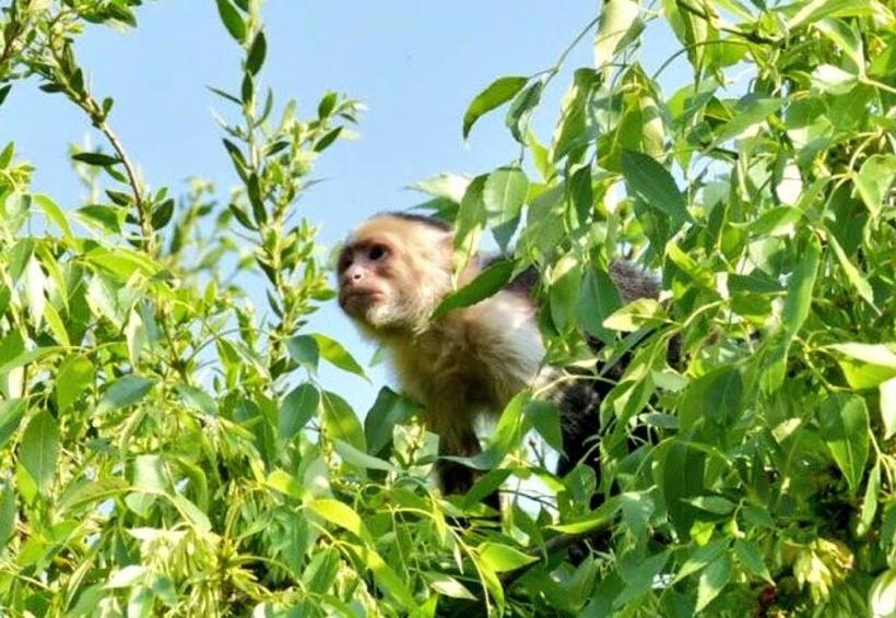 Reportan un mono capuchino suelto en Reforma | El Imparcial de Oaxaca