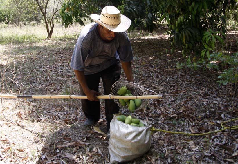 Se incrementa 50% exportación de mango en Oaxaca | El Imparcial de Oaxaca
