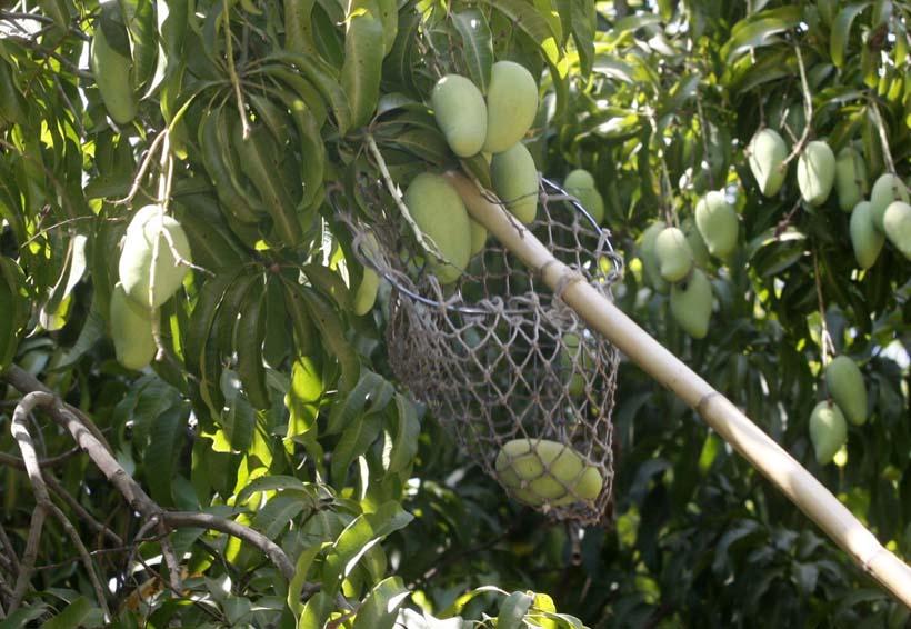 Multiplica Oaxaca sus exportaciones de mango | El Imparcial de Oaxaca