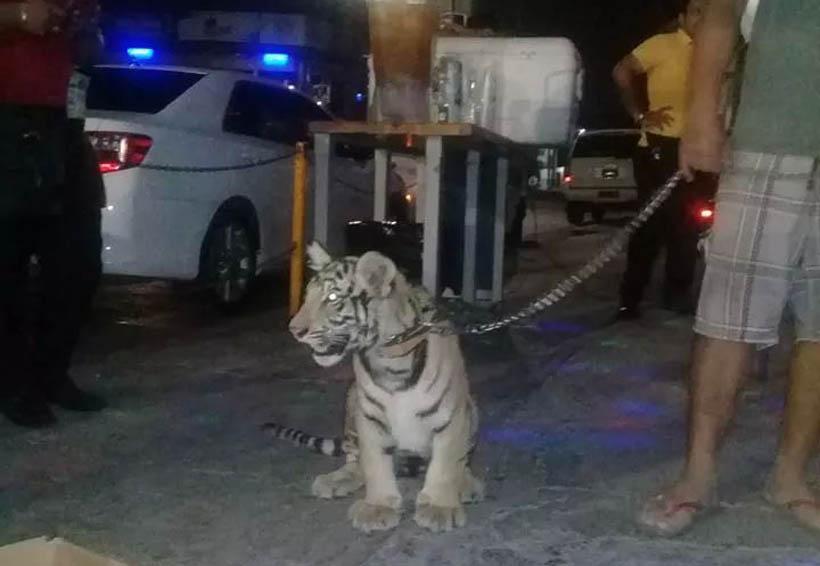 Funcionarios de PROFEPA incautan tigre de bengala en el Istmo de Oaxaca | El Imparcial de Oaxaca