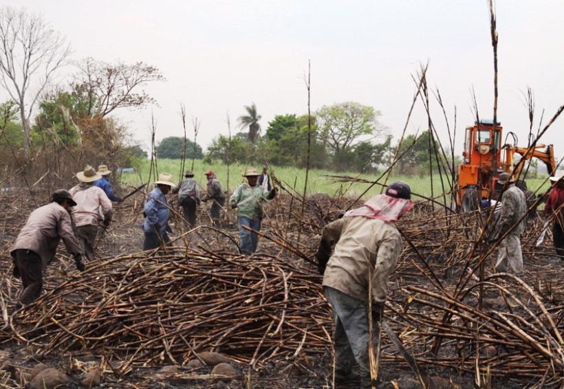 Cañeros podrían perder  50 mil toneladas de caña | El Imparcial de Oaxaca