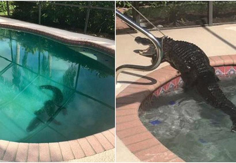 Video: Enorme caimán aparece en piscina de familia | El Imparcial de Oaxaca