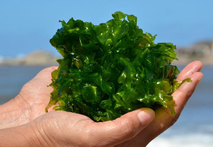 Consumo de algas como alimento cotidiano aporta múltiples beneficios | El Imparcial de Oaxaca