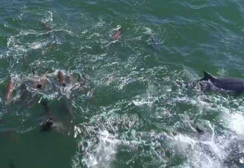 Video: captan 1500 delfines jugando con una ballena jorobada | El Imparcial de Oaxaca