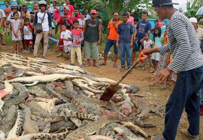 En Indonesia matan a casi 300 cocodrilos  para vengar muerte de vecino | El Imparcial de Oaxaca