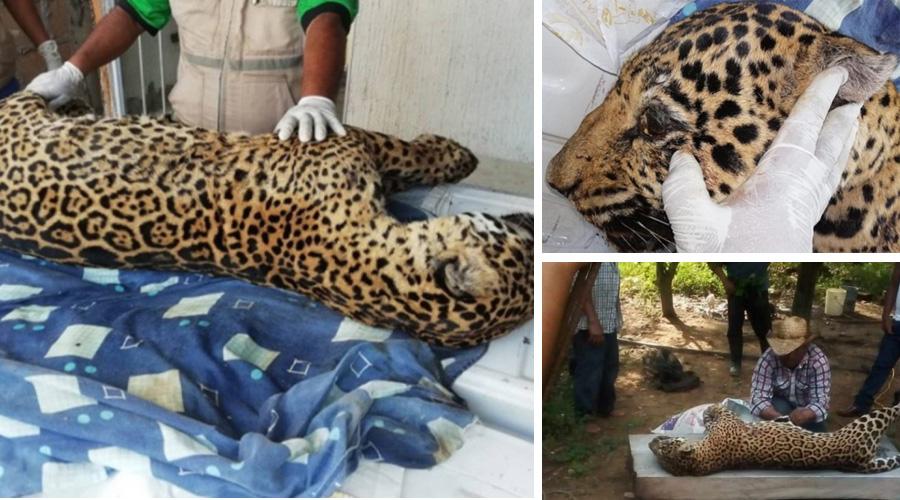 Hallan cadáver de jaguar cazado en Veracruz que fue denunciado en redes sociales   El Imparcial de Oaxaca