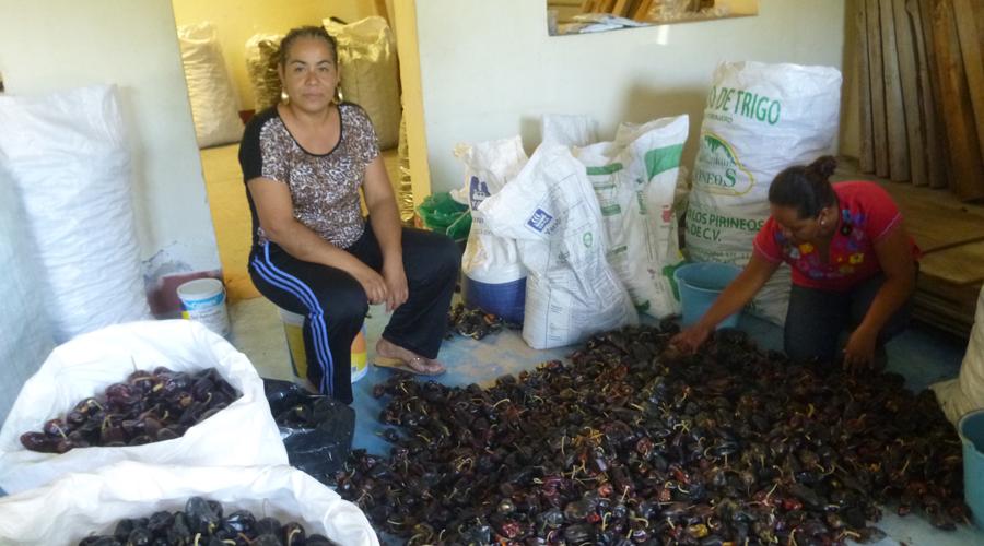 Buscan rescatar la siembra del chile  huacle en Cuicatlán, Oaxaca | El Imparcial de Oaxaca