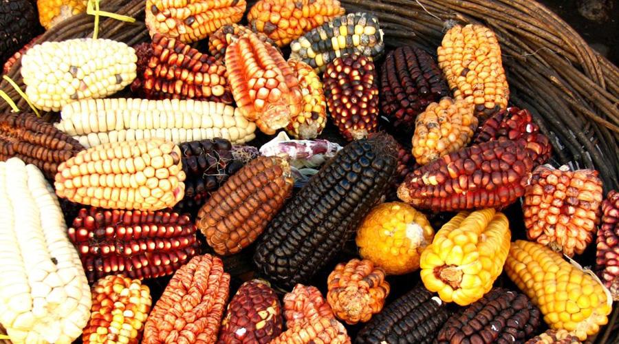 El maíz nativo sigue vigente en Oaxaca | El Imparcial de Oaxaca