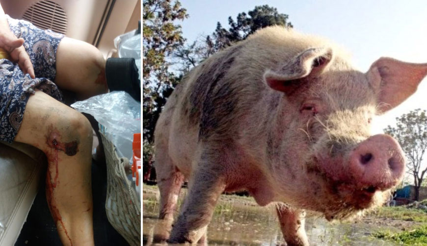 Cerdo agresivo ataca a mujer de la tercera edad en Pinotepa | El Imparcial de Oaxaca