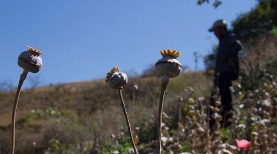 Legalizar amapola podría ser la salida a la violencia: Cienfuegos | El Imparcial de Oaxaca