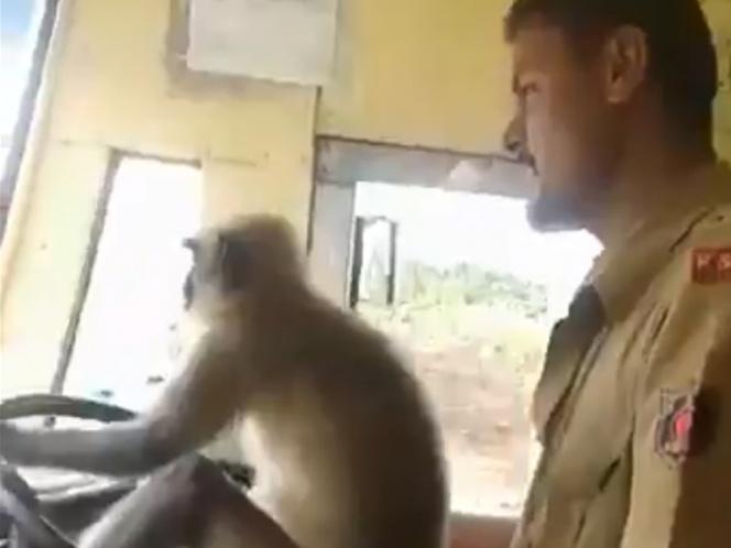 Video: Pierde empleo por dejar que un mono maneje su autobús | El Imparcial de Oaxaca
