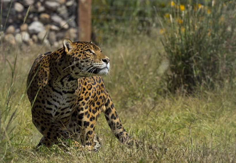 Amenazan a felinos caza ilegal y desertificación | El Imparcial de Oaxaca