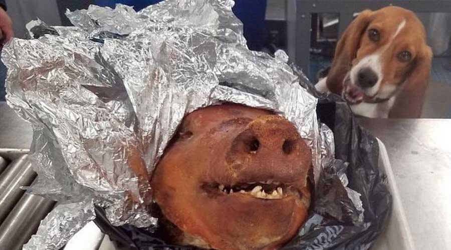 Encuentran cabeza de cerdo asada en una maleta en un aeropuerto   El Imparcial de Oaxaca