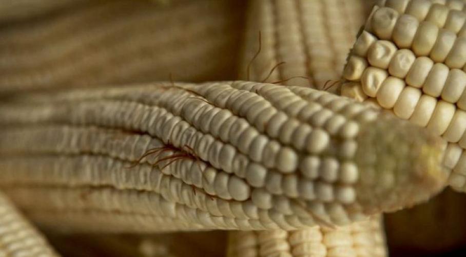 Se adjudican en Estados Unidos descubrimiento del maíz oaxaqueño | El Imparcial de Oaxaca