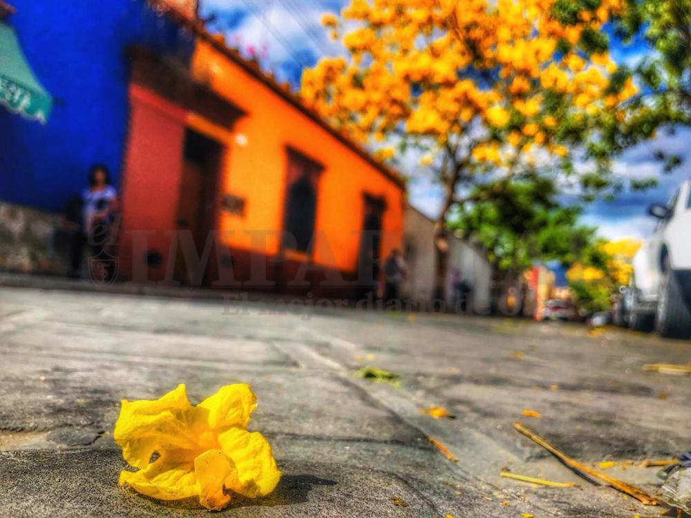 Comienza la floración de guayacán en la capital