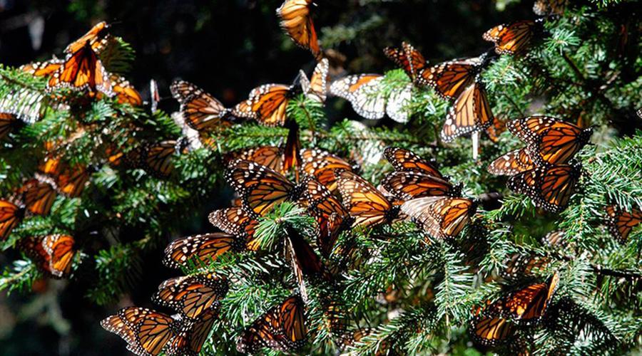 Tala autorizada en el Nevado de Toluca afecta a la mariposa Monarca   El Imparcial de Oaxaca