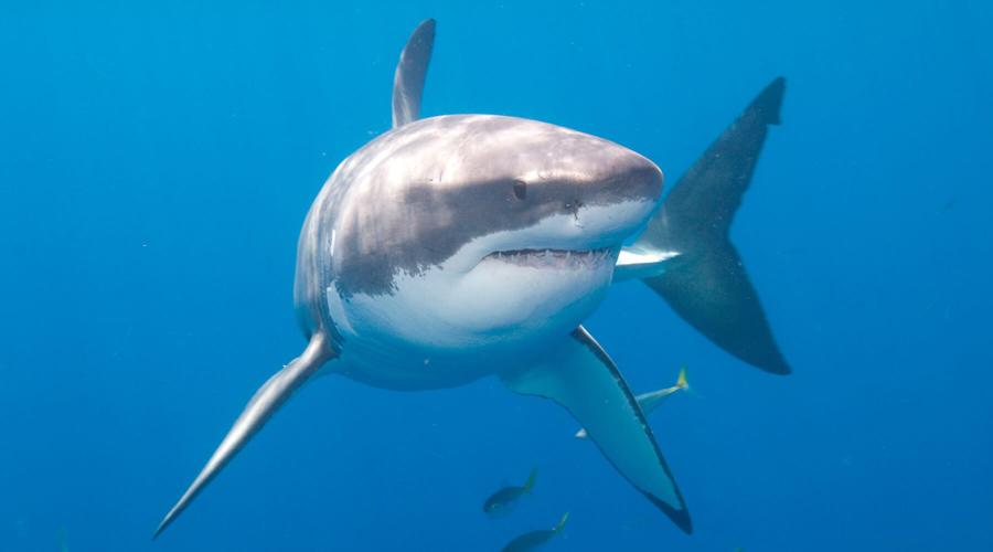 Estructura de la piel de tiburón, solución para evitar infecciones | El Imparcial de Oaxaca