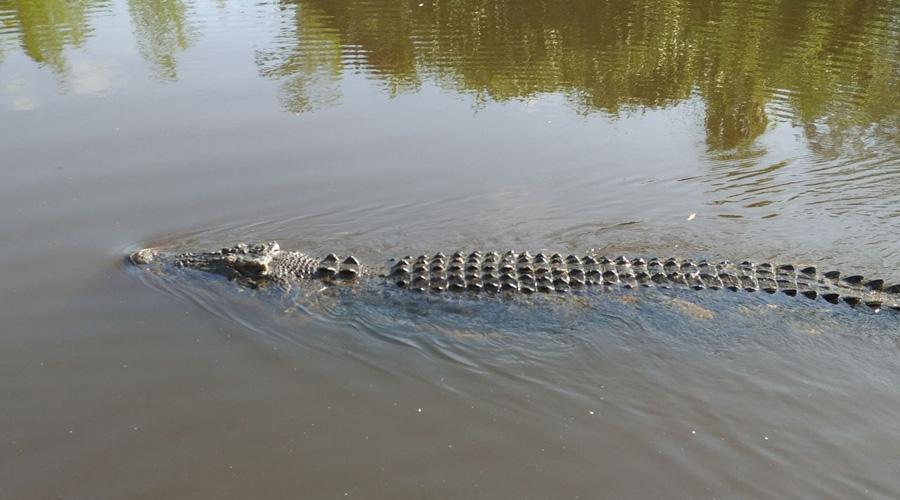 Avistan cocodrilo en río Los Perros de Juchitán   El Imparcial de Oaxaca