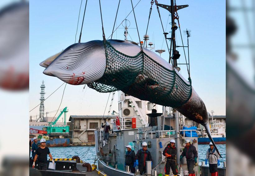 Japón realiza última caza científica de ballenas; iniciará pesca comercial | El Imparcial de Oaxaca