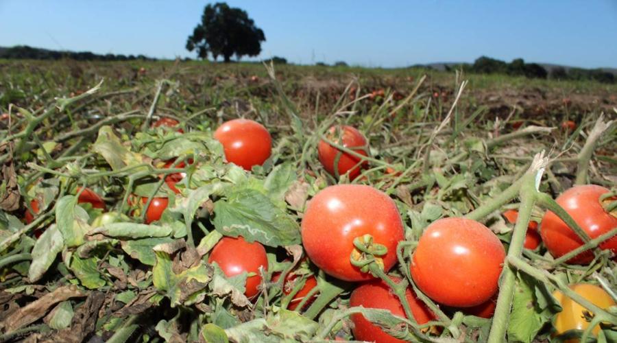 Cae exportación de tomate a EU | El Imparcial de Oaxaca