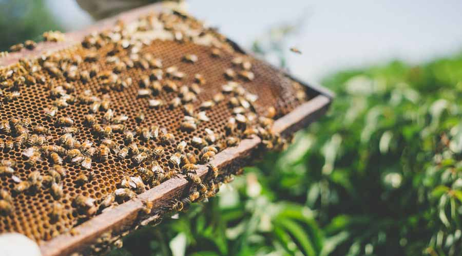 En Tututepec Oaxaca, protegen a las abejas | El Imparcial de Oaxaca