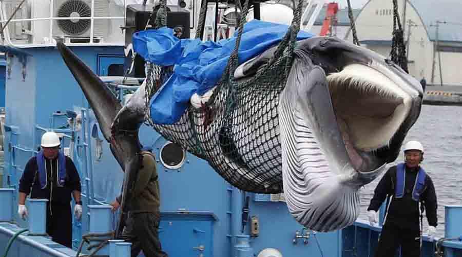 Realiza pueblo japonés su primera caza de ballenas de la temporada | El Imparcial de Oaxaca