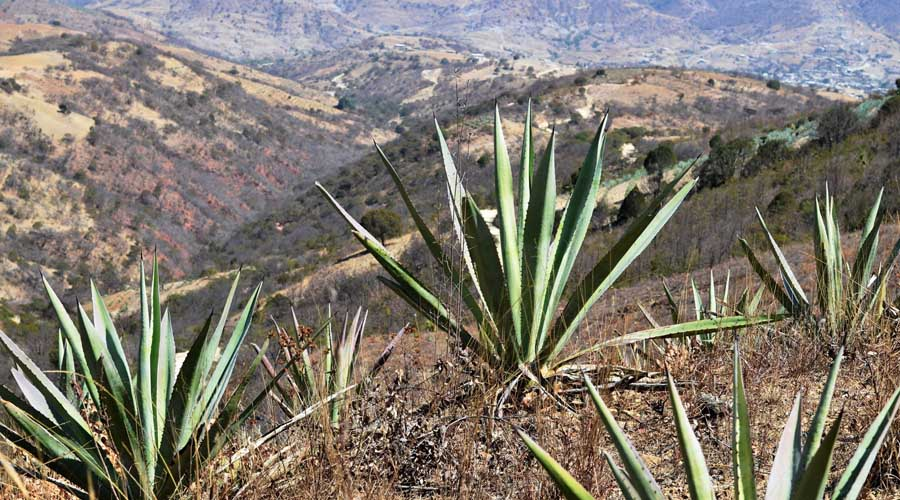 Amenazadas especies endémicas de agave en Oaxaca   El Imparcial de Oaxaca
