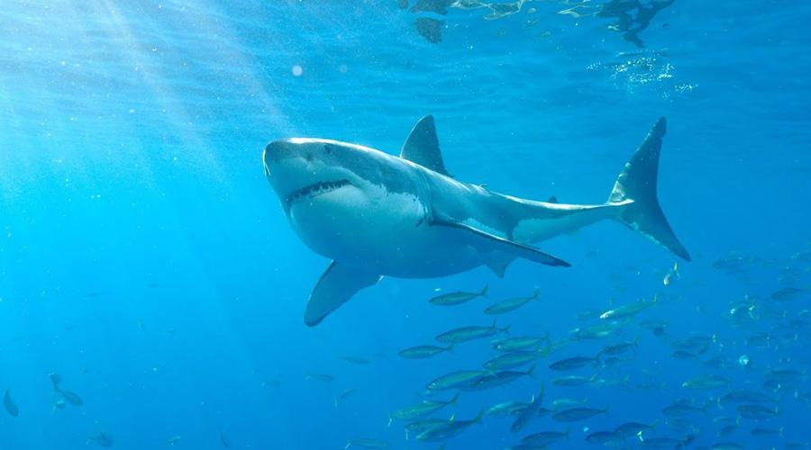 Video: tiburón blanco nada cerca de niños en playa de Australia   El Imparcial de Oaxaca