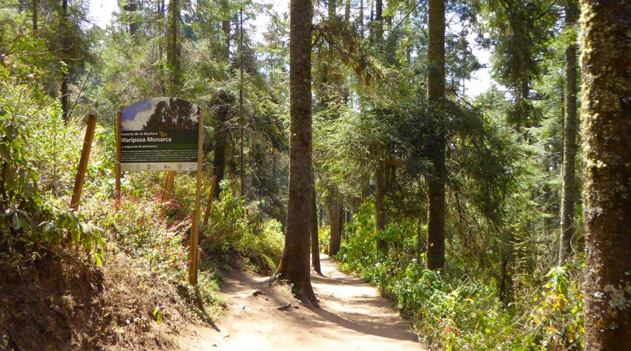 Reforestan bosque de la mariposa Monarca | El Imparcial de Oaxaca