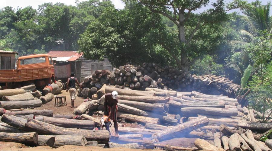Talan 6 millones de árboles en Ghana para llevarlos ilegalmente a China | El Imparcial de Oaxaca