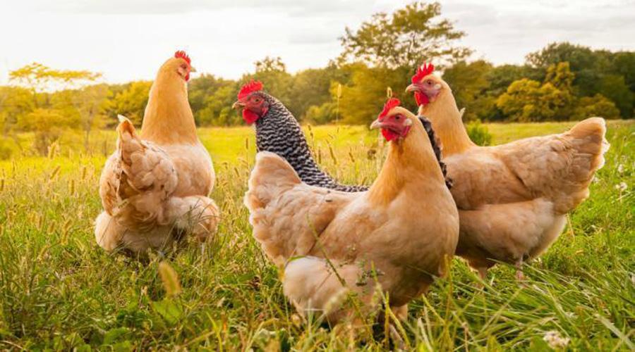 Colectivo vegano separa gallinas de gallos para evitar que las violen | El Imparcial de Oaxaca