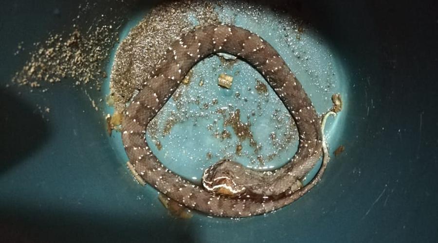 Es mordido por víbora en la Costa | El Imparcial de Oaxaca