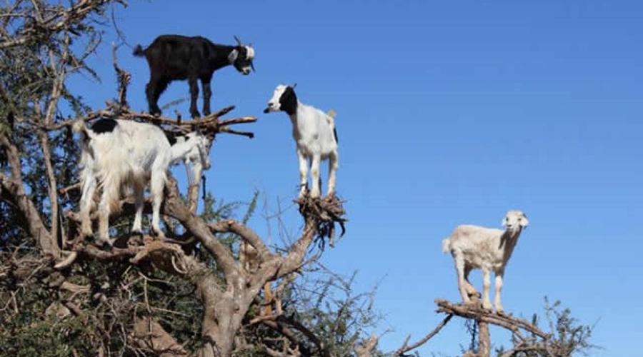 Video: Sorprenden cabras que desafían la gravedad   El Imparcial de Oaxaca