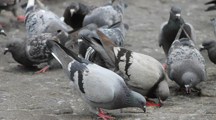 Suministran a palomas alimento con anticonceptivos para evitar su sobrepoblación | El Imparcial de Oaxaca