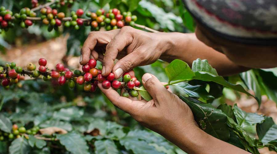 Producción de café en Oaxaca se desploma al 50 por ciento | El Imparcial de Oaxaca