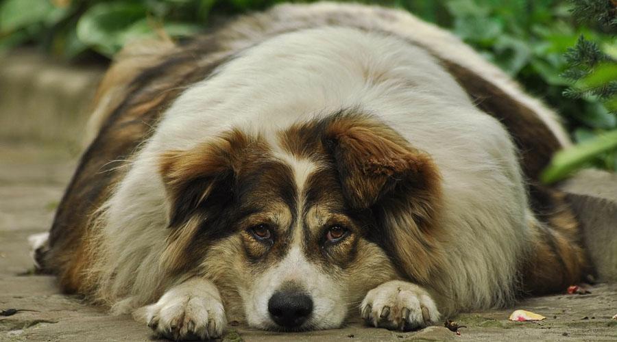 Los perros también sufren obesidad, evítala con estos tips | El Imparcial de Oaxaca