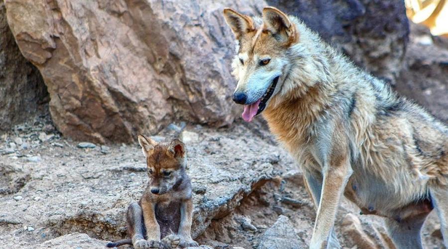 Video: Captan cachorros de lobo mexicano, los primeros nacidos en vida silvestre | El Imparcial de Oaxaca