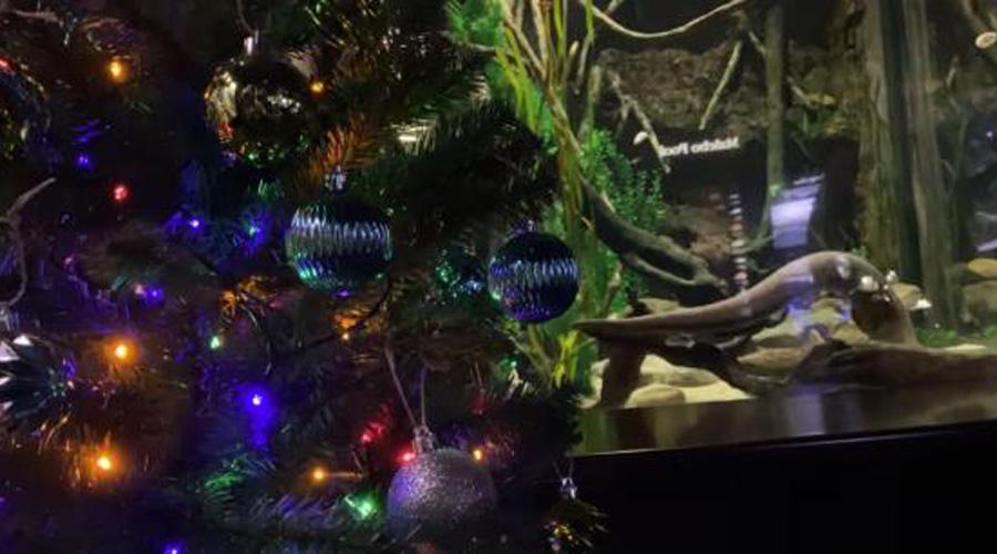 Anguila eléctrica enciende árbol navideño | El Imparcial de Oaxaca