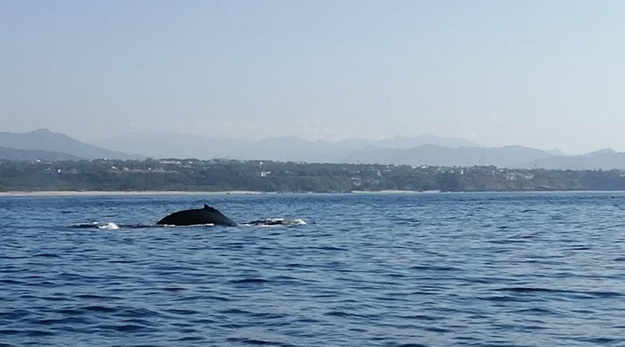 Inicia el avistamiento de la ballena jorobada en Puerto | El Imparcial de Oaxaca